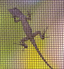 Gecko (Mi Bob) Tags: bottoms up macromonday gecko bottomsup