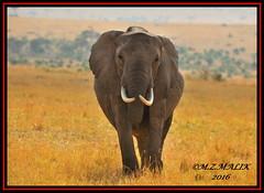 AFRICAN ELEPHANT (Loxodonta africana)....MASAI MARA....SEPT 2016 (M Z Malik) Tags: nikon d3x 200400mm14afs kenya africa safari wildlife masaimara keekoroklodge exoticafricanwildlife elephants