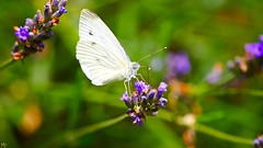 White Butterfly - 3287 (YᗩSᗰIᘉᗴ HᗴᘉS +6 500 000 thx❀) Tags: butterfly papillon white whitebutterfly insect macro nature flower hensyasmine green natural