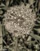 fragile beauty (Felicis_Flower) Tags: dandelion blowball pusteblume blume flower plant pflanze irland ireland garten garden fragile zerbrechlich