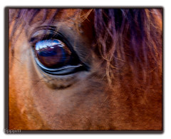 Look,.. me in the eye! (tippjim) Tags: horses tippjim nikon2470 reflections