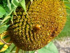 P1270213 (jeanchristophelenglet) Tags: fleur fleurs flower flowers flor flores insecte insect inseto coccinelle ladybug joaninha