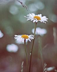 (where birds always sing) Tags: flower flowers dandelion pixel camera nikon nikond300 uppsala sweden nature color colors colours colour white yellow green photo photography photograph