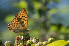 Silver Washed Fritilary-4205 (WendyCoops224) Tags: 100400mml 80d canon eos localbirdswlldlife minibeasts ©wendycooper silver washed fritilary butterfly