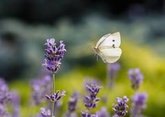 Piéride en vol (Mariette80) Tags: papillon piéride inflight