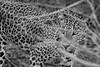 Le Léopard (jambros76) Tags: blancoynegro blackandwhite bnw byn backpackers traveller travel wildanimal animal leopardo leopard canon400d canonistas canon yalastrictnaturalpark yala srilanka