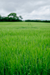 Corn (ChrisJWallace) Tags: adventure field fujifilm grass green ireland landscape nature outdoors summer wexford xt1