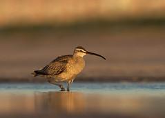 Whimbrel (PeterBrannon) Tags: beach bird birding florida nature numeniusphaeopus pinellascounty sand shorebird whimbrel wildlife