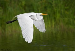 Great Egret on the Fly (Daniel Cadieux) Tags: egret greategret fly flying flight wings pond lake wetlands white heron ottawa