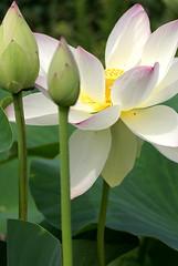 Lotosblume, indische / Indian Lotus (Nelumbo nucifera) (HEN-Magonza) Tags: botanischergartenmainz mainzbotanicalgardens rheinlandpfalz rhinelandpalatinate deutschland germany flora indischelotusblume indianlotus nelumbonucifera sacredlotus beanofindia lotus wasserpflanze acquaticplant