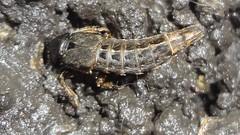 DSC03876a (alfredoeloisa) Tags: holometábolos metamorfosis animalia arthropoda insecta pterygota neoptera endopterygota