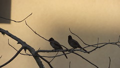 Birds Couple (mseddik2) Tags: bird bulbul tree sky sunset