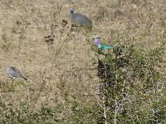 P1150909 Zimbabwe (39) (archaeologist_d) Tags: zimbabwe stanleylivingstonesafarilodge lilacbreastedroller africa southernafrica safari