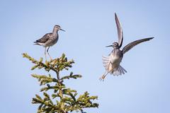 Dude - Get Your Own Perch! (Jeff Dyck) Tags: lesser yellowlegs lesseryellowlegs tringaflavipes tringa shorebird sandpiper perch birdinflight churchill manitoba birds jeffdyck