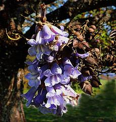 the jacaranda tree (Explored) (ellyn writing) Tags: jacaranda flowering tree northsaanich vancouverisland britishcolumbia canada txeeptopaz