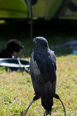DSC_9541 (fjaphotography.co.uk) Tags: birds daresbury england unitedkingdom gb birdsofprrey steam