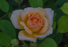 Rose (frankmh) Tags: plant rose sofiero sofierocastlegarden helsingborg skåne sweden outdoor garden macro flower