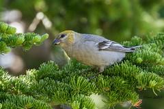 IMG_8298 female Pine grosbeak (starc283) Tags: starc283 bird birding birds wildlife canon canon7d nature naturesfinest colorado grosbeak pinegrosbeak femalepinegrosbeak