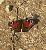 Peacock Butterfly (shaunk1973) Tags: peacock butterfly butterflys butterflies inspect