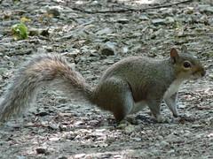 Squirel On Ground (CreatureStream) Tags: squirel on ground