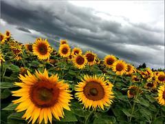 clouds over suns (Bernergieu) Tags: switzerland clouds sunflower yellow green
