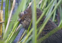 Water Vole (Explored) (wayne.withers1970 (Not on much now 'cos of work)) Tags: rural water vole mammal animal wildlife fauna rare small cute beautiful nature wetlands flickr outdoors