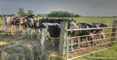 Cows in Groninger Landschap,Groningen,the Netherlands,Europe (Aheroy) Tags: cows koeien groningen landscape landschap groningerlandschap aheroy aheroyal vee cattle hek fence kudde herd pinken waiting wachten rural vacas vaches kühe 奶牛 nǎiniú