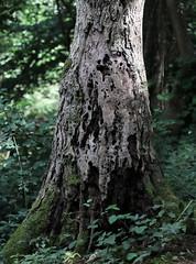 Ready to fall (Mukumbura) Tags: oak tree dead rotten trunk standing tall wood forest