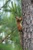 Orav; Sciurus vulgaris (urmas ojango) Tags: imetajad mammalia mammals orav sciurusvulgaris