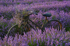 Lordington Lavender Fields (fstop186) Tags: lordington lavender fields rusty bicycle working crop flower rows lavendula goldenhour sunset