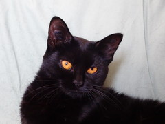 There is Gold in them Eyes (knightbefore_99) Tags: cat kitty kitten baby black noir chat gato eyes gold awesome pretty furry feline watch best cool cc200