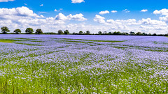 Blue on blue (David S Baxter) Tags: selbydistrict england unitedkingdom gb linseed valeofyork northduffield lowerderwentvalley northyorkshire menthorpelane flax