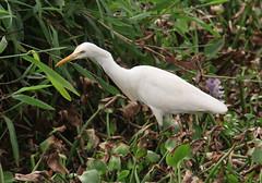 Whispering Palms Resort at Kumarakom (RossCunningham183) Tags: whisperingpalmsresort kerala india southindia backwaters kumarakom bird egret