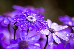Stopped Raining (Limes Wright) Tags: rain raindrops wet purpleflowers garden outdoor nature