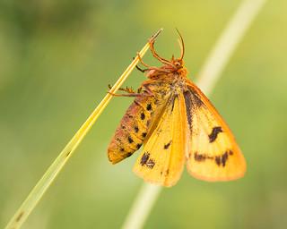 Ruby Tiger Moth.Phragmatobia Fuliginosa