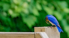 DSC00555processed2 (onbreadalonetp123) Tags: bird southcarolina