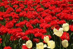 2017 Ottawa Tulip Festival 040 (Chrisser) Tags: flowers tulips tulipfestivals tulipfestival liliaceae nature ottawa ontario canada canoneosrebelt6i canonefs1855mmf3556isstmlens travel