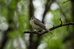_MG_6063 (sbirmingham) Tags: animals bird nature outdoors stockcategories tuftedtitmouse wildlife honeoyefalls newyork unitedstates us