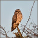 Short-eared Owl (image 2 of 3)