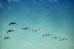 AUR_8337s (savillent) Tags: geese snow specklebelly birds nature sky nikon telephoto lens 70200 tuktoyaktuk northwest territories canada wildlife outdoors blue spring may 2017