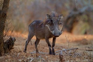 Well-groomed Warthog