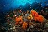 THE BLUE REEFS (senecavidrine7) Tags: asie indonésie komodo landscape alcyonaire animals animaux cnidaire color corail couleur invertebrate invertébré lieu orange rouge underwater crystalrock îlesgililawalaut