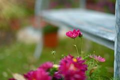 The Happy Bench... (KissThePixel) Tags: bench thebench seat bokeh softbokeh macro summer summerdays summernights flower flowers pinkflowers emptyseat nikon nikondf sigma 50mm aperture 14 f14 sunlight garden mygarden cottage cottagegarden