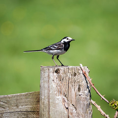 Wagtail (Howie Mudge LRPS BPE1*) Tags: animal bird nature ngc wildlife photography photographer post telephoto wire perch perched black white outside outdoors panasonicdmcg80 microfourthirds mft m43 compactsystemcamera mirrorlesscamera green brown