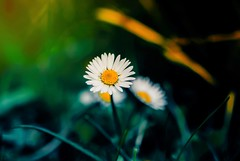 Hope (Caucas') Tags: μαργαρίτα papatya daisy karadeniz green nature save doğa white yellow nikkor маргаритка marguerite margarita margherita gänseblümchen sedmikráska hope umut life grow bokeh yeşil sarı light nikon kafka tutu desmond 35mm 35mmf14 sigma sigma35mmf14 art sigmaart 35mmf14art macro flower plant outdoor wild kafkas mgkafkas