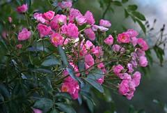 Pinks (ACEZandEIGHTZ) Tags: nikon d3200 flowers plants bokeh dof depthoffield coth alittlebeauty naturethroughthelens coth5 sunrays5