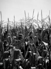 corn (Paul Lundberg) Tags: mamiya645 sekorc80mmf28 film blackwhite shanghaigp3 kodakhc110
