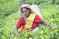 Sri Lanka, tea pickers (60) (walterkolkma) Tags: srilanka tea pickers teapickers centralhighlands nuwaraeliya strathdon teaestates women laborers tamils sonya6300