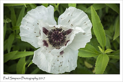 White Poppy (Paul Simpson Photography) Tags: paulsimpsonphotography nature poppy whitepoppy whiteflower flower naturalworld england sonya77 imagesof imageof photoof photosof petals leaves petal green naturephotography