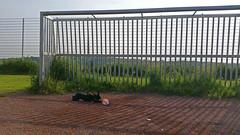 Julie 3-6-17 Tor.jpg (Josef17) Tags: bostonterrier hund julievomvagabunden fusball tor